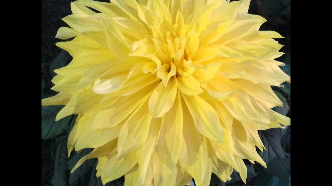 Largest Dahlia Flower In India Youtube