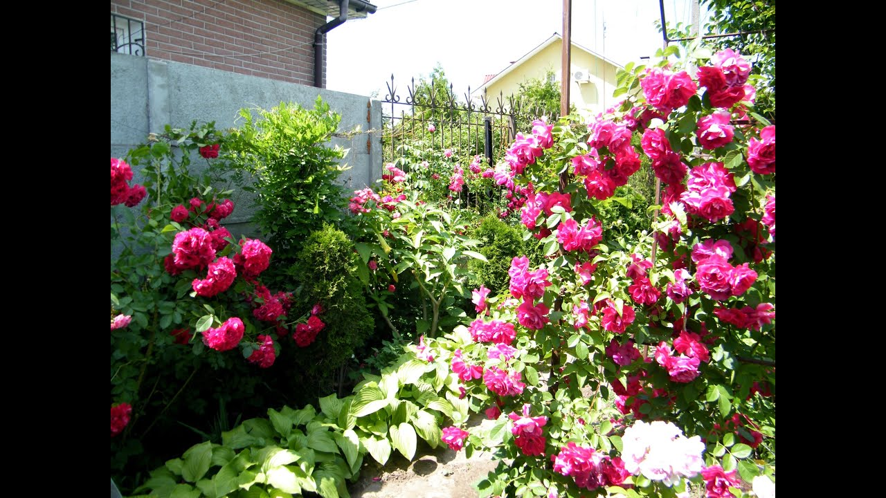 Плетистая роза уход после цветения