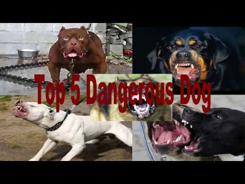 Top 5 Dangerous Dog in the World