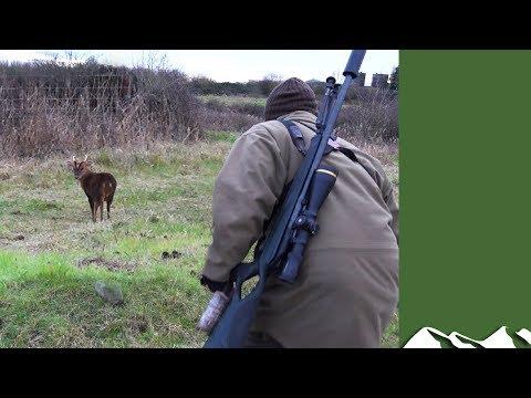 Norfolk Muntjac Stalking