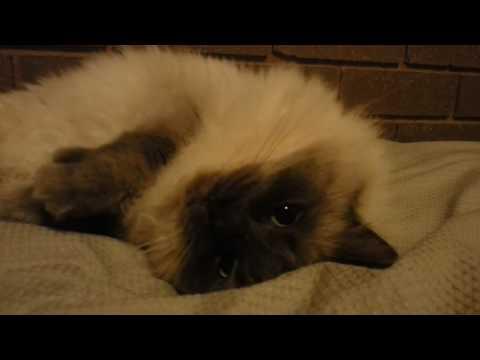 Reginald the Ragdoll being fluffy.