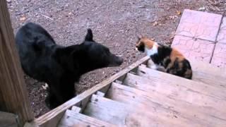 Badass cat scares away bear