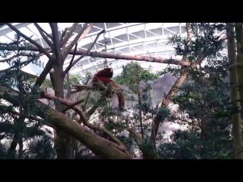 Singapore River Safari - Giant Panda & Red Panda