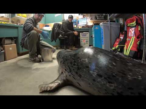Bouncy Harbor Seal Pops In For Office Visit