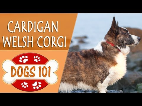 Dogs 101 - CARDIGAN WELSH CORGI - Top Dog Facts About the CARDIGAN WELSH CORGI