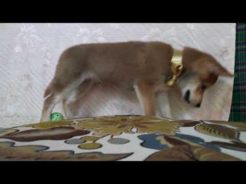PuppyFinder.com : Smile the Shiba boy