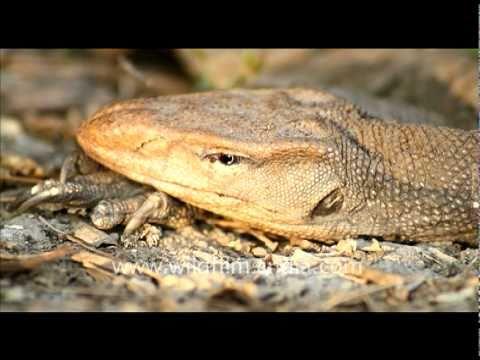 Monitor Lizard, Bharatpur