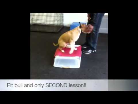 Pit Bull on SECOND lesson! Dog Training, Virginia