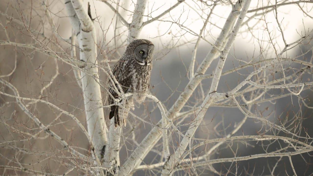 Great Grey Owl Wallpaper