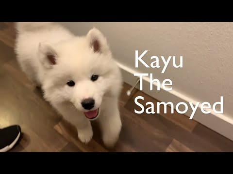 Two weeks with Samoyed puppy