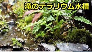 滝のテラリウム 水上葉グロッソ3週間でここまで育った