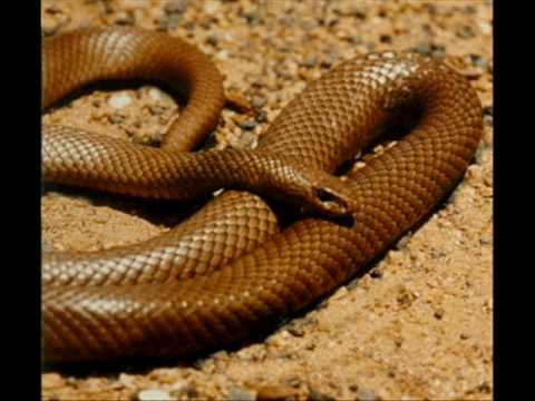 Top 10 Most Venomous Snakes!