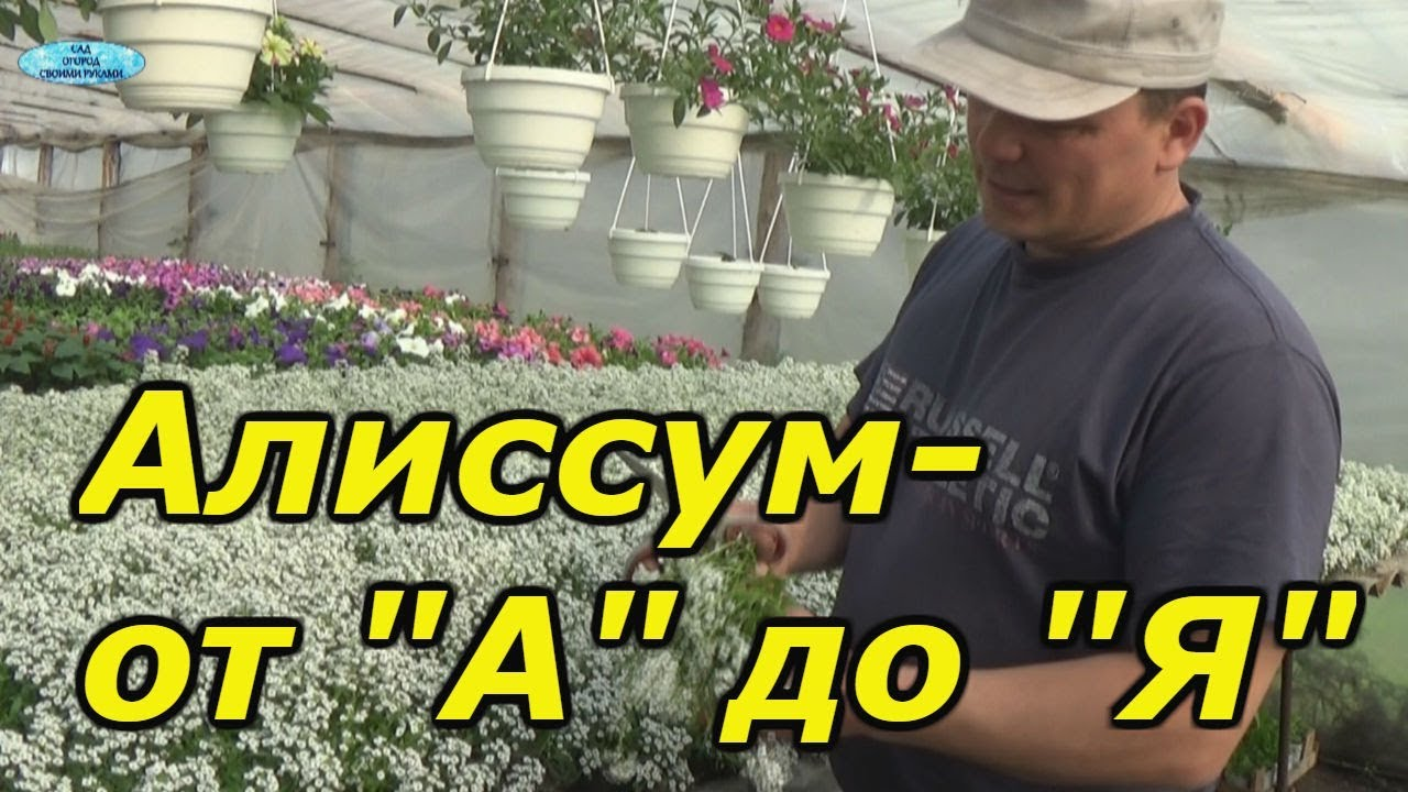 АЛИССУМ- ОТ ПОСЕВА ДО ЦВЕТЕНИЯ В ОДНОМ ВИДЕО!