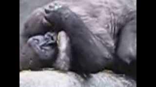 Gorilla having sex with poze 69  New 2014