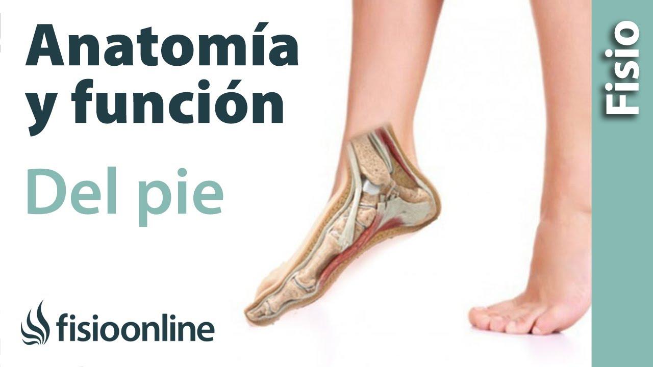 Anatomía y función del pie e implicaciones en la marcha y carrera ...