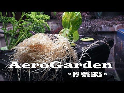 AeroGarden 19 Weeks - root trim and water change