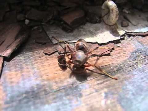 Decapitated wasp grabs its head before flying away