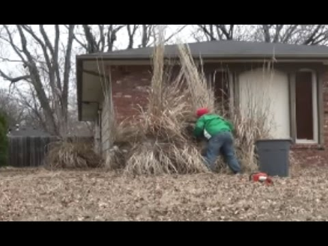 Trimming Pampas Grass With Duct Tape