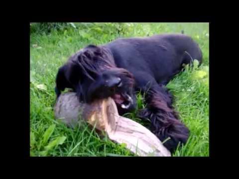 Собака и бревно, the giant Schnauzer