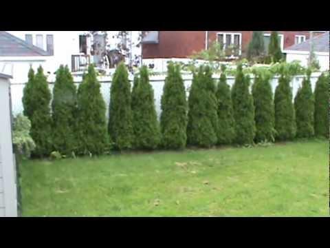 Thuja occidentalis smaragd cedar hedge 3 years old youtube - Thuja smaragd growth rate ...