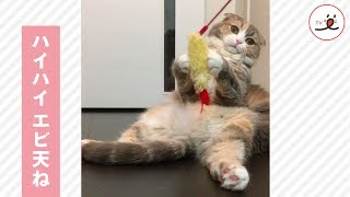 スコティッシュフォールドの猫さんがスコ座りでくつろいでいると・・・ ...