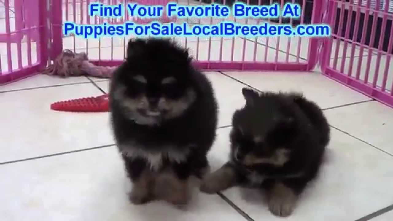 pomeranian puppies for sale in michigan ebay pomeranian puppies for sale in saint petersburg county 7677