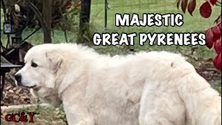 THE MAJESTIC GREAT PYRENEES.....answering the hair question from my point of view