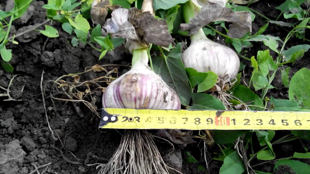 Покупайте лук-севок для озимых и весенних посадок по доступным ценам с доставкой по украине. Популярные сорта и новые гибриды из голландии.
