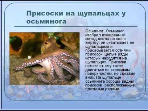 Головоногие моллюски Осьминоги и кальмары - YouTube