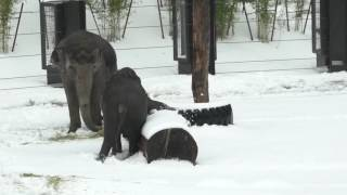 Lily the elephant having fun in the slushy snow at Oregon Zoo
