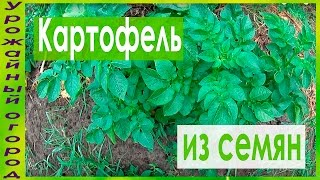 КАРТОФЕЛЬ ВЫРАЩЕННЫЙ ИЗ СЕМЯН В СЕРЕДИНЕ ЛЕТА!!!