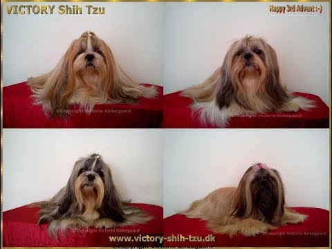 VICTORY Shih Tzu: Perfect Clothes for Shih Tzu and other longhaired breeds.