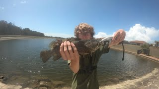 MONSTER Cod caught from saltwater lagoon Catch cook micro bream fishing and shovelnose Ep 38