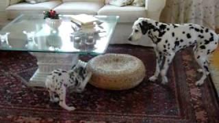 Dalmatians Freja Vs Mille