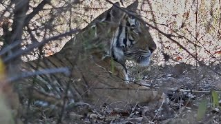 India 2015:  Bandhavgarh National Park (Part 3)
