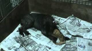 http://www.jpla-nishinomiya.com/puppy... 子犬情報 人のそばにくっつ...