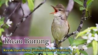 Download lagu Suara Kicauan Burung Kerakbasi Besar MP3