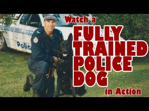 Watch A Police Dog In Action - Australia NZ Police Dog Champion