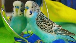Parakeet sounds - Budgie singing to mirror