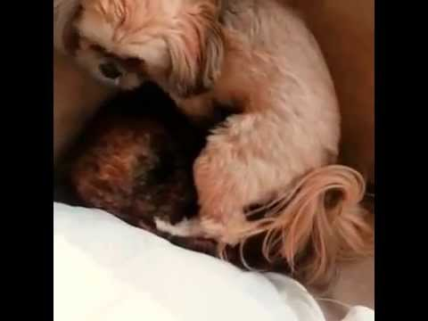 Munchkin sits on Boo's head