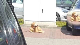 Собака припарковалась!