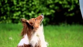 [sheltie Diego] Amazing Dog Tricks!