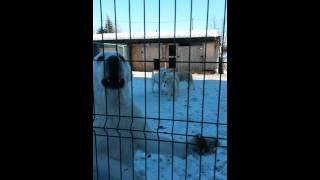 Питомник екатеринбурге , алабаи щенки