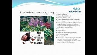 Hosta Wide brim: plante vivace