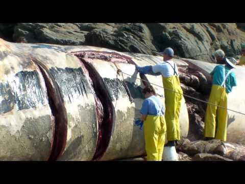 Bean Hollow State beach Blue Whale necropsy 3/5