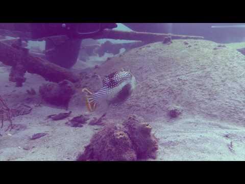 Underwater Photographer and Ornate Cowfish