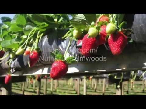 NutriFruit Organic Strawberry Farm