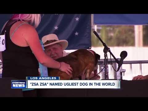 """Zsa Zsa"" the bulldog is world's ugliest dog"
