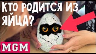 HATCHIMALS - Как приручить дракона! Невероятная игрушка сама ломает яйцо. MGM(Ссылка на питомца HATCHIMALS в Магазине Toy.ru: ..., 2016-10-19T05:08:28.000Z)