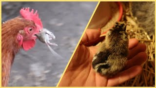 Chickens catch the mouse * Amazing chick hatching *